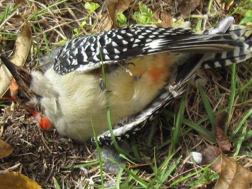Woodpecker 005