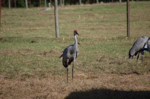 Cranes 022
