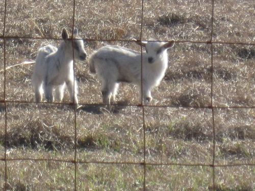 Goats 004