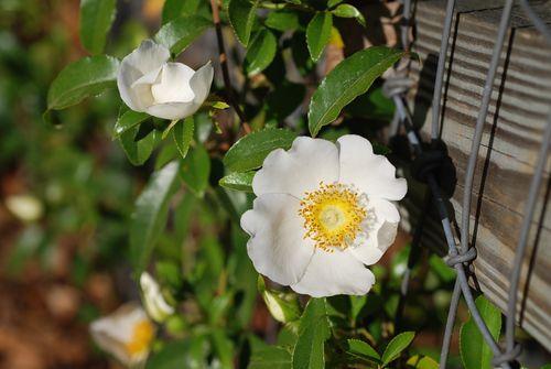 Cherokee rose-09 002