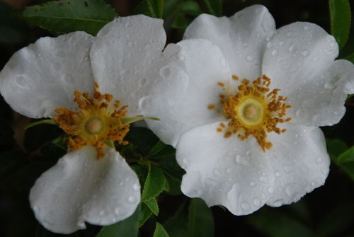 Cherokee rose-09 014