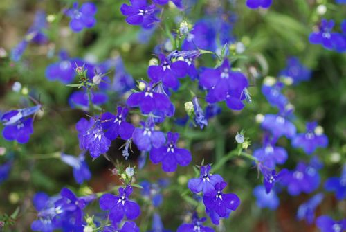 Flowers 5-13-09 002
