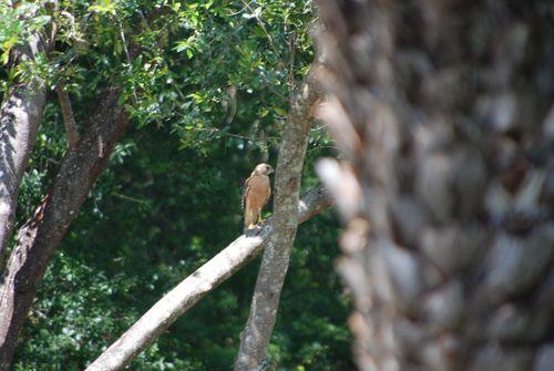 Red shoulder hawk 004