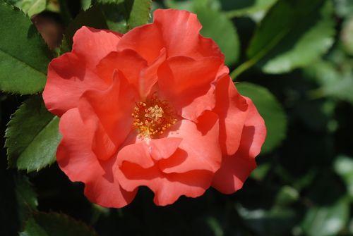 Flowers 5-13-09 008