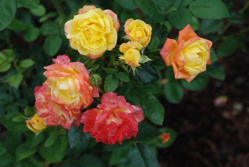 Roses 007