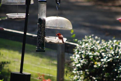 Red shoulder hawk 001