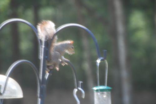 Red shoulder hawk 024