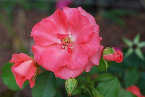 Flowers-6-09 006