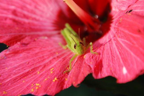 Grasshopper 007
