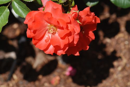 Yard flowers 029