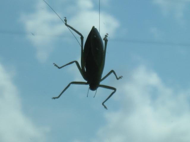 Cicada 006