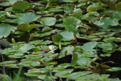 Gum swamp 013