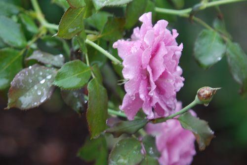Rainy roses 014
