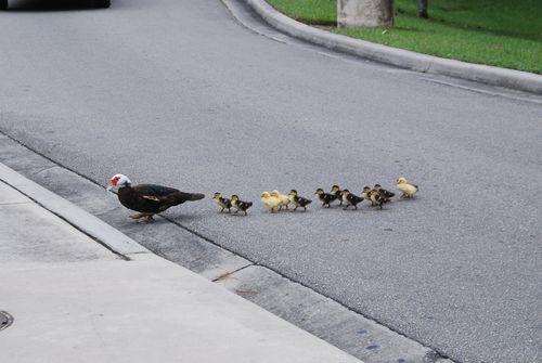 Ducks 006
