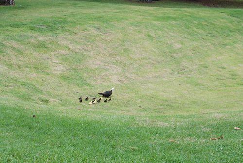 Ducks 012