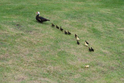 Ducks 015