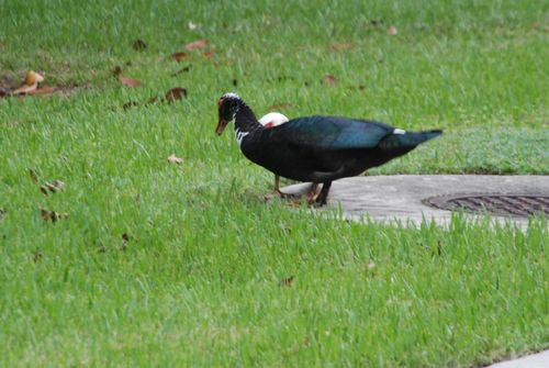 Ducks 069