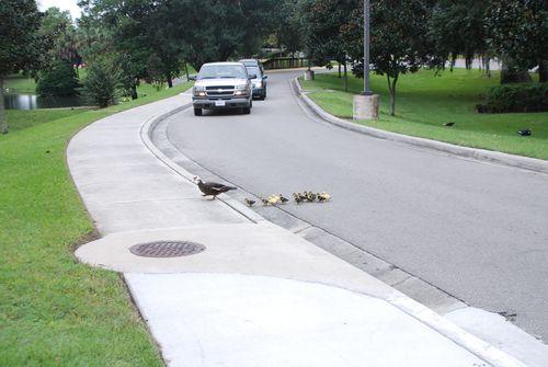 Ducks 007
