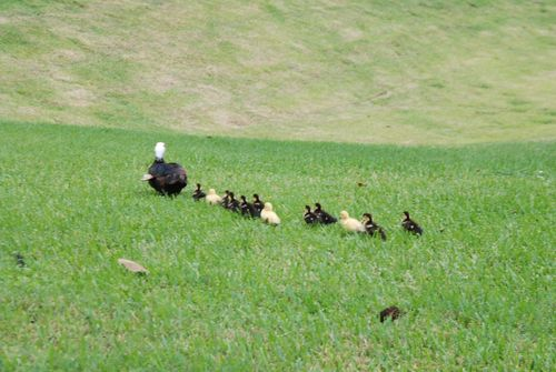 Ducks 009