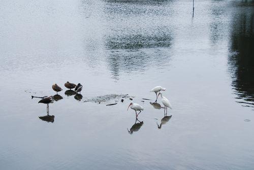 Ducks 058