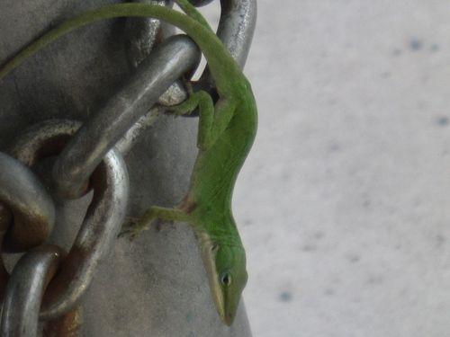 Chameleons 001