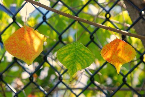 Autumn leaves in Florida