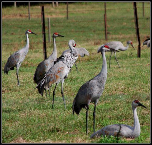 Sandhill cranes 007