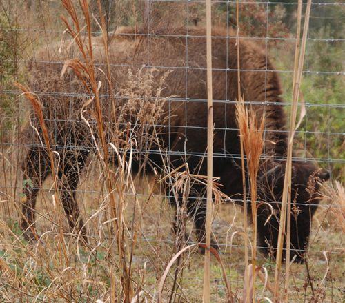 Bison 002