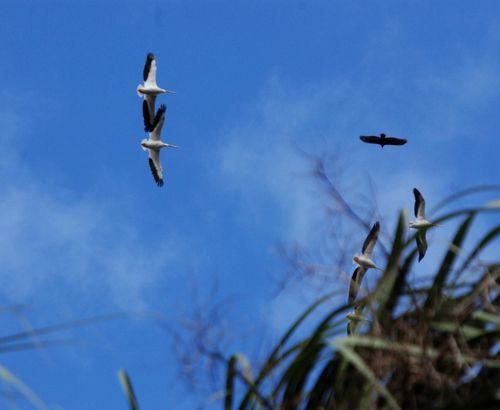 Sandhill cranes 042