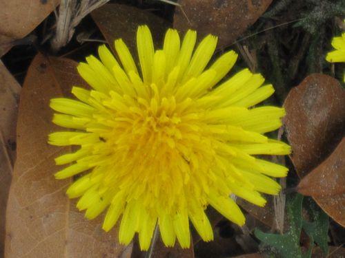 Dandelions 002