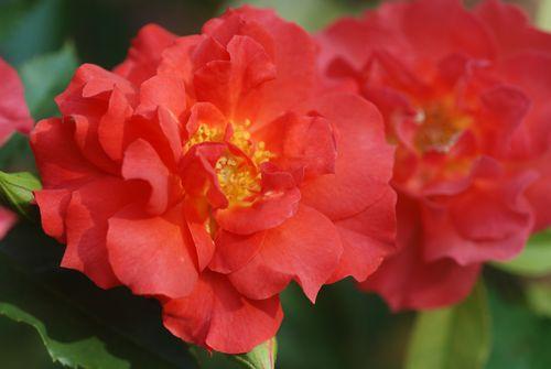 Flowers-Melrose 010