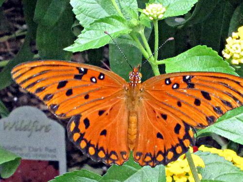 Butterflies 031