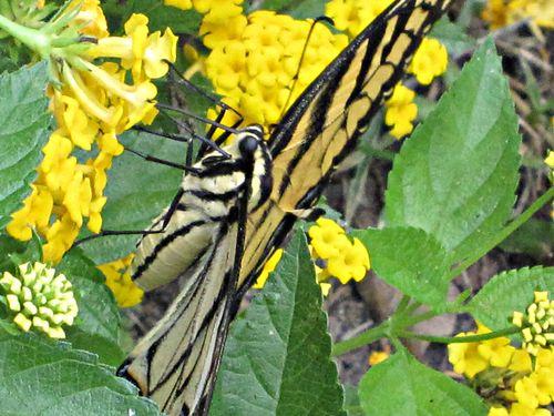 Butterflies 028