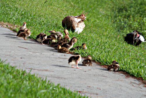 Ducks 020_picnik