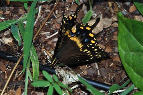 Buttterflies 034_picnik