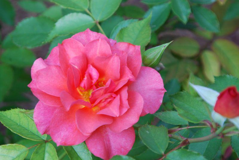 Roses 016