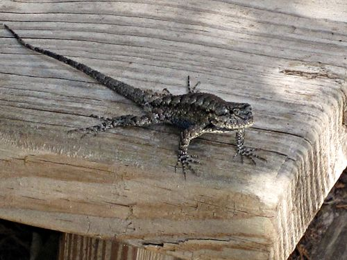 Lizard 002