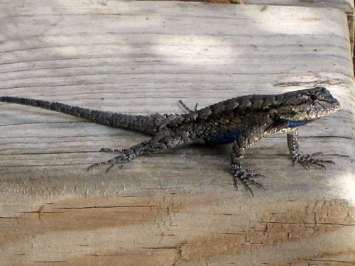 Lizard 003_picnik