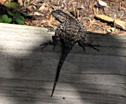 Lizard 005