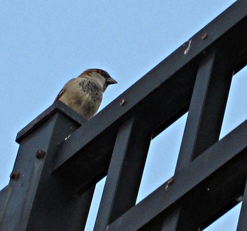 Sparrows 006_picnik
