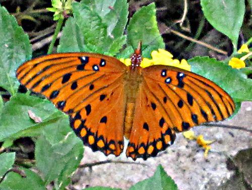 Butterflies 015