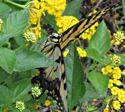 Butterflies 026