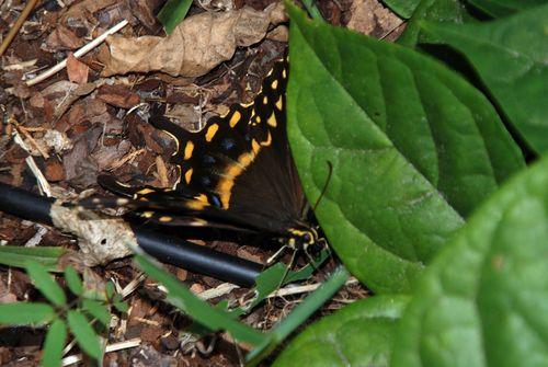 Buttterflies 035_picnik