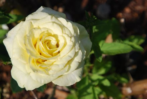 Roses 009