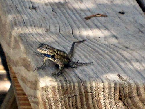 Lizard 001
