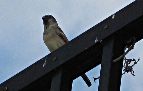 Sparrows 016_picnik