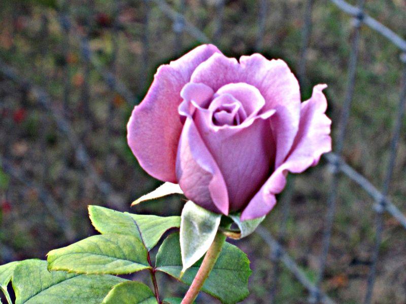 Roses 020