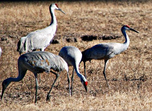 Sandhill cranes 051