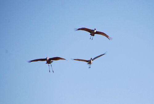 Sandhill cranes 067