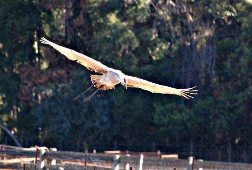Sandhill cranes 075